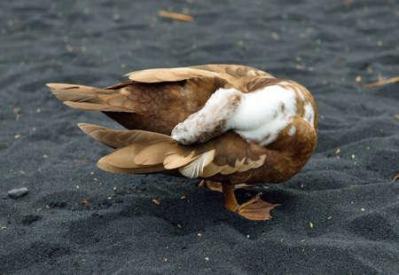 Duck on the black sand beach in Hawaii Big Island, USA