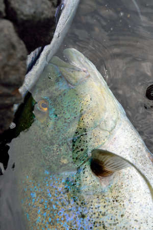 Big fish caught in Hawaii Big Island USA Stockfoto