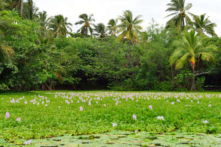 Lilies on the tropical lake in Hawaii Big Island, USA Stockfoto