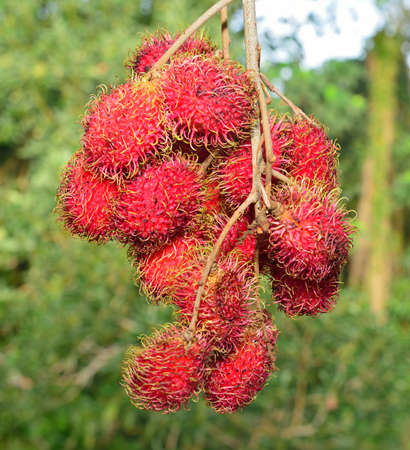 Closeup of red lychees growing in the wild in Hawaii USA