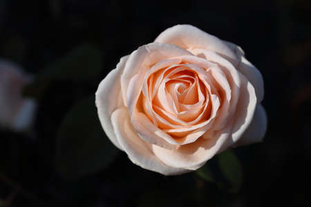 rose coloured: Cream coloured rose Asiana, dark background Stock Photo