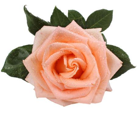 rose coloured: Cream coloured rose Asiana, isolated on white background Stock Photo