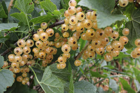 ripening: Ripening white currant
