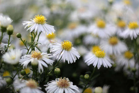 asters: White asters