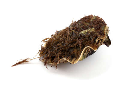 Oyster with brown seaweeds Stock Photo