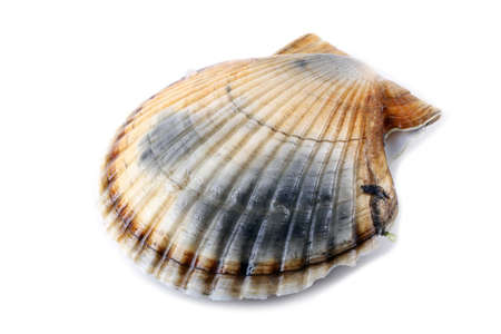 Scallop on white Stock Photo