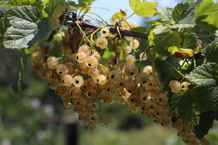 White currant harvest