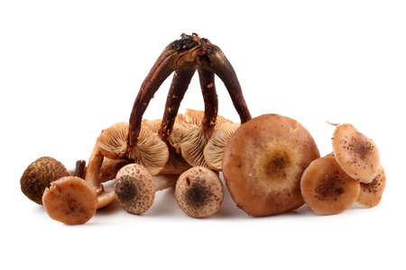 agaric: Honey agaric mushrooms Stock Photo