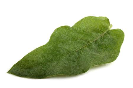 aubergine: Aubergine leaf