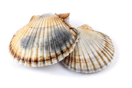 Two scallops 版權商用圖片