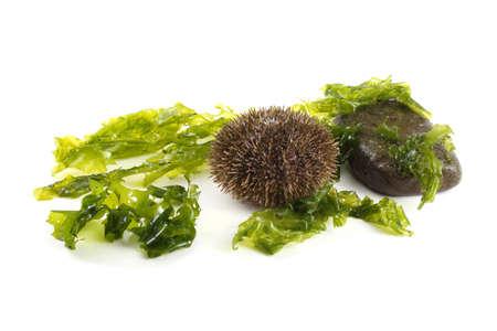 Gray sea urchin, stone and alga