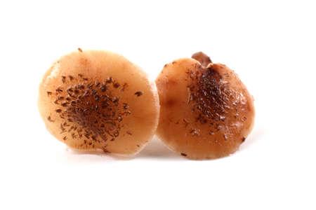 agaric: Two honey agaric mushrooms Stock Photo