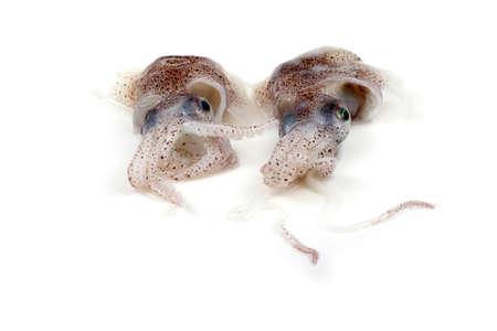 ittle: Little cuttlefishes