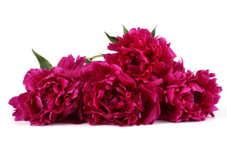 Red peony flowers Stock Photo