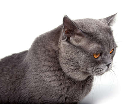 Funny looking British cat Stock Photo