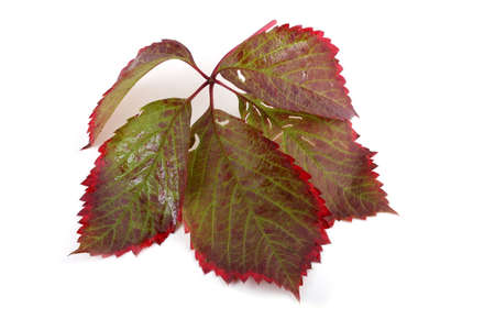 Boston ivy leaf 免版税图像