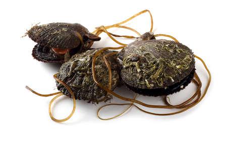 Scallops and alga Stock Photo