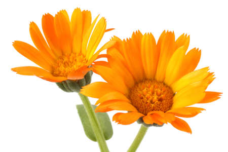 Growing calendula isolated on white