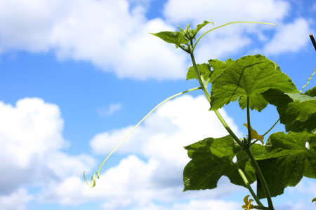 Growing cucumber and sky