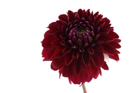 Unusual red dahlia with white petal