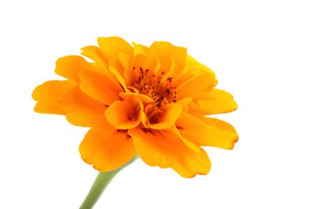 Growing marigold isolated on white