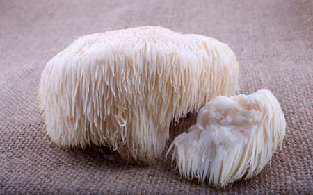 Hericium erinaceus mushroom (monkey head mushroom, bearded tooth fungus, bearded hedgehog mushroom, pom pom, lion's mane mushroom) Stock Photo