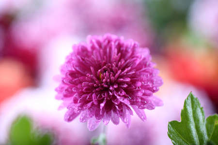 Chrysanthemum and flower bokeh background. Abstract