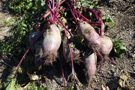 Beets harvest on field