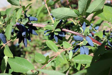 Growing honeysuckle berries