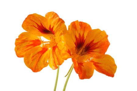 Growing nasturtium isolated on white Imagens - 121365143