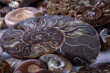 Ammonite background. Different ammonite varieties