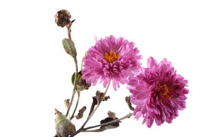 Growing chrysanthemum isolated on white Banco de Imagens