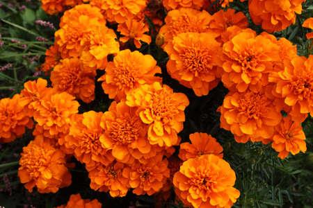 Marigold flowers background