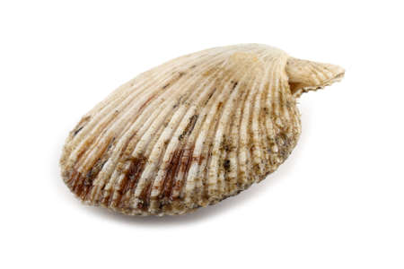 Scallop isolated on white Stock Photo