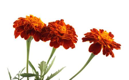 Wachsende Ringelblumen isoliert auf weiß Standard-Bild
