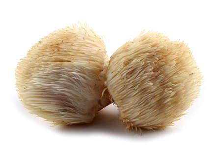 Fungo Hericium erinaceus (fungo testa di scimmia, fungo dente barbuto, fungo riccio barbuto, pom pom, fungo criniera di leone)