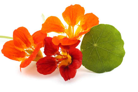Nasturtiums isolated on white
