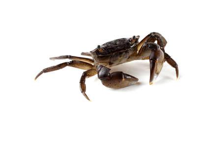 Kleine krab met grote klauwen
