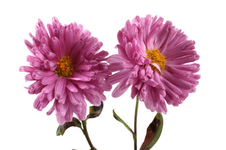 Growing chrysanthemum isolated on white Imagens