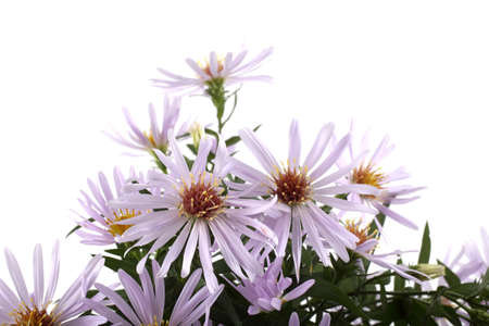 Wild asters isolated on white Imagens