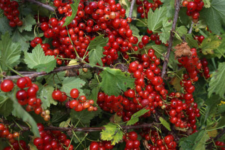 Growing red currant