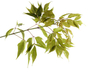 Ash-leaved maple