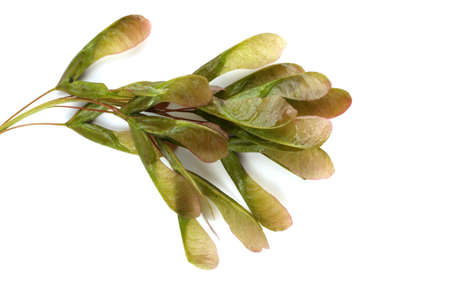 Ash-leaved maple (acer negundo) seeds