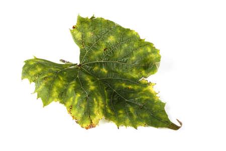 Autumn grape leaf