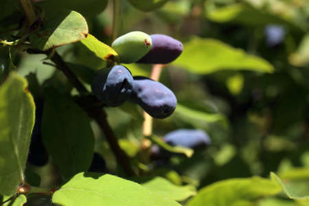 Growing honeysuckle berries Stock Photo