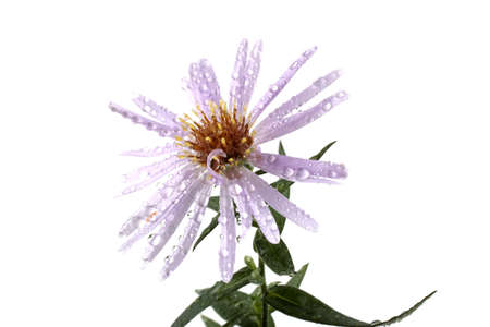 Wild aster isolated on white Imagens