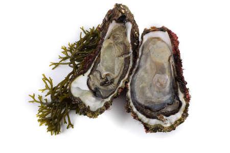 Opened oysters on alga