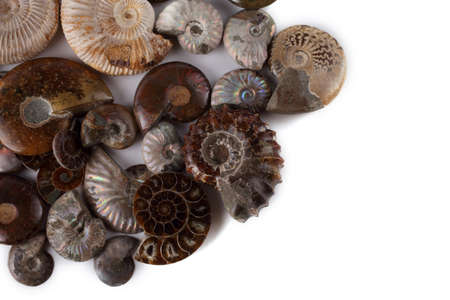 Ammonites isolated on white. Different ammonite varieties