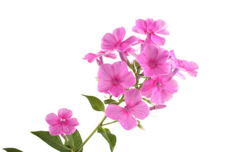 Phlox isolated on white Imagens