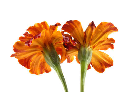 Growing marigolds isolated on white